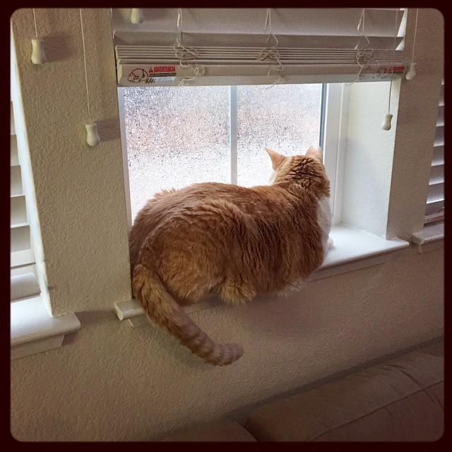 Chester doing some raindrop watching :) #chestercat #itsjustrain